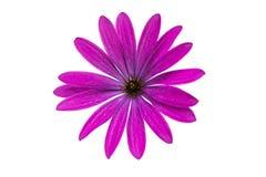 Osteospermum Daisy ή λουλούδι της Daisy ακρωτηρίων Στοκ φωτογραφία με δικαίωμα ελεύθερης χρήσης