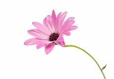 Osteospermum Daisy or Cape Daisy Flower Flower Stock Photo
