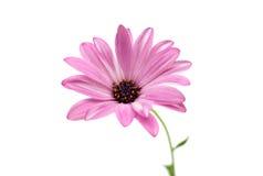 Osteospermum Daisy or Cape Daisy Flower Flower Stock Image