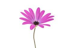Osteospermum Daisy or Cape Daisy Flower Royalty Free Stock Photography