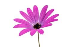 Osteospermum Daisy or Cape Daisy Flower Stock Image