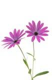 Osteospermum Daisy or Cape Daisy Flower Stock Photos