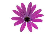 Osteospermum Daisy or Cape Daisy Flower Stock Photography