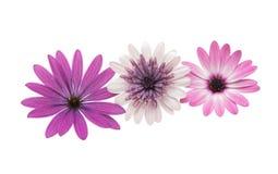 Osteospermum Daisy or Cape Daisy Flower Royalty Free Stock Photos