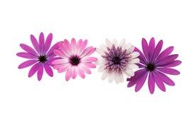 Osteospermum Daisy or Cape Daisy Flower Stock Images