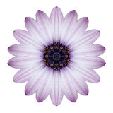 Osteospermum Daisy Kaleidoscopic Flower Mandala Isolated Foto de Stock