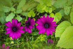 Osteospermum ecklonis花海角延命菊花,非洲雏菊 紫色雏菊花卉生长在庭院里 库存照片
