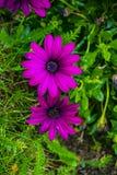 Osteospermum ecklonis花海角延命菊花,非洲雏菊 紫色雏菊花卉生长在庭院里 免版税库存照片