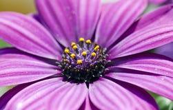 Osteospermum ecklonis Stock Images