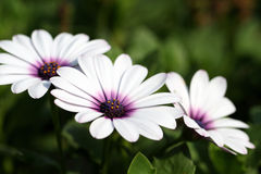 Osteospermum ecklonis Royalty Free Stock Photos