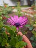 Osteospermum ecklonis 库存照片