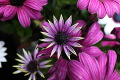 Osteospermum/fleur de cinéraire dans le jardin Images libres de droits