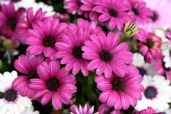 Osteospermum/fleur de cinéraire dans le jardin Photographie stock