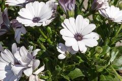 Osteospermum flower, African daisy. White & purple colored Osteospermum flowers, African daisy Stock Photo