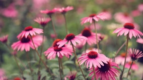 Osteospermum Flower Daisy Stock Images