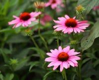 Osteospermum Flower Daisy Stock Photography