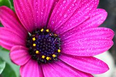 Osteospermum flower Royalty Free Stock Photo