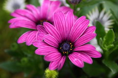 Osteospermum Flower in Garden. Natural pretty purple osteospermum in Garden with green leaf. This flower is easy to grow. it gives fresh to the people Stock Photography