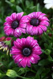 Osteospermum Flower in Garden. Natural pretty purple osteospermum in Garden with green leaf. This flower is easy to grow. it gives fresh to the people Stock Images