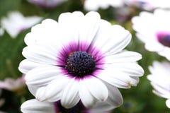 Osteospermum Flower in Garden. Natural pretty white, light purple and dark purple osteospermum flower in Garden with green leaf. This flower is easy to grow. It Stock Images