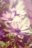Osteospermum flower - Purple daisies. Dreamy Purple daisies - Osteospermum flower Stock Images