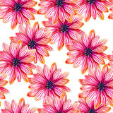 Osteospermum flower watercolor seamless pattern. Bright tropical flowers isolated on white background. Royalty Free Stock Photos