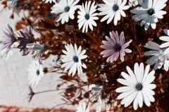 Osteospermum flowerbed Stock Image