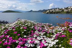 Osteospermum flowers on the Aegean Sea in Turkey. Beautiful seaview with islands and mountains royalty free stock photo