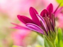 Osteospermum flowers Stock Photos