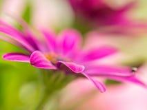 Osteospermum flowers Stock Images