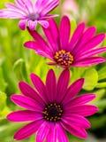 Osteospermum flowers Stock Photography