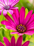 Osteospermum flowers Stock Photography