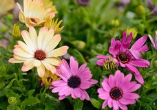 Osteospermum flowers Stock Photos