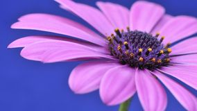 Osteospermum Fruticosum . Stock Photography