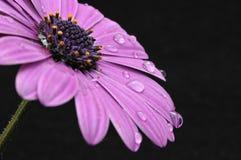 Osteospermum fruticosum. Stock Images