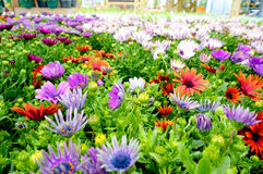 Osteospermum at garden centre 2 Stock Images