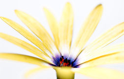 Osteospermum - Gele Daisy Flower Royalty-vrije Stock Fotografie
