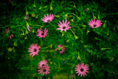 Osteospermum. Group of Pink Daisy Flowers, Osteospermum stock image