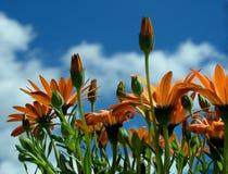 Osteospermum hybrid,. Orange Sunshine royalty free stock images