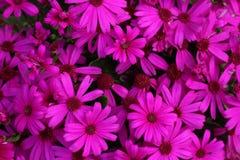 Osteospermum-Kreuzung Stockbilder