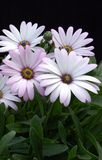 Osteospermum Lavender Mist. Common Names: Hardy African Daisy, Sun Daisy Grouping of lavender-blushed daisy-like flowers with a base of dark green foliage set Royalty Free Stock Photos