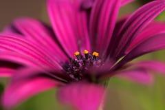 Osteospermum macro close up Stock Image