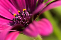 Osteospermum macro close up. Flower Flowers Garden Gardens Plant Plants Bloom Petal Floral Flora Aesthetic Beautiful Pollen Purple Green Pink Colour Color Stock Photo