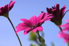 Osteospermum macro close up. Flower Flowers Garden Gardens Plant Plants Bloom Petal Floral Flora Aesthetic Beautiful Pollen Purple Green Pink Colour Color Royalty Free Stock Photography