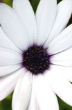 Osteospermum macro Stock Photography