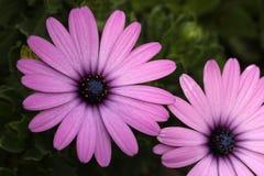 Osteospermum Royalty Free Stock Photography