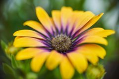 Osteospermum macro shot in a sunny day royalty free stock photo