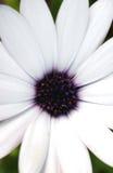 Osteospermum makro arkivbild