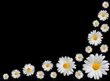 Osteospermum - margaritas blancas aisladas en negro Fotos de archivo libres de regalías