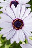Osteospermum o margherita africana bianca fotografie stock